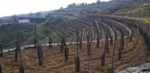 Vigneto Azienda Agricola La Gelsomina - Piedimonte Etneo (CT)