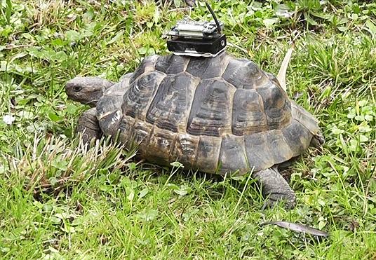 Un gps per le tartarughe la freccia verde for Temperatura tartarughe