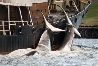 caccia balena