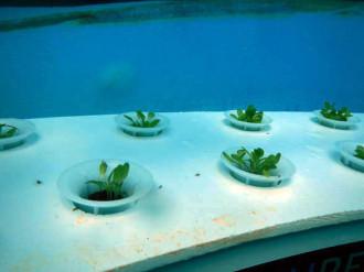 basilico coltivato sott'acqua