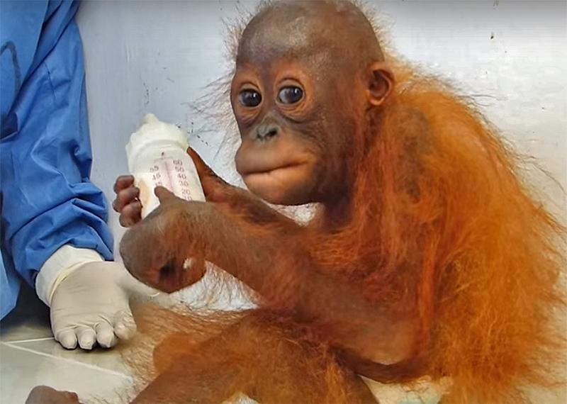 piccolo orango
